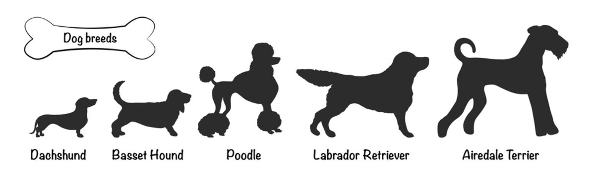 Vector silhouettes of 5 dog breeds on white background. Isolated icons of Dachshund, Basset, Airedale Terrier, Poodle, Labrador Retriever