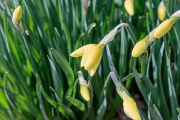 Fototapeten Narzisse natural street lighting. daffodil flower. have toning. shallow depth of field