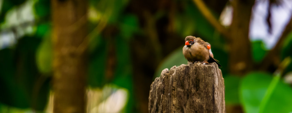 closeup of a orange breasted waxbill bird sitting on a wooden pole, tropical bird specie from Africa