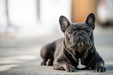 Fotorolgordijn Franse bulldog French bulldog laying on the pavement outdoor