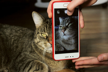 Owner Take A Photo Of Pet, Close Up. Cropped Shot Of A Cat. Photo Of A Tabby Cat.