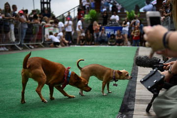 Dogs are distracted by a TV camera during a 'Running of the Chihuahuas' dog race as part of Cinco de Mayo celebrations in Washington
