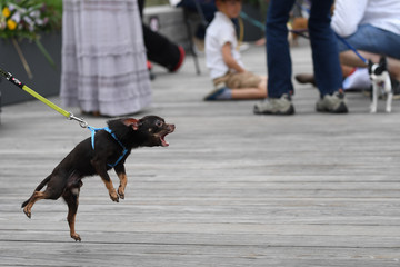 A Chihuahua dog barks before participating in the 'Running of the Chihuahuas' dog race as part of Cinco de Mayo celebrations in Washington
