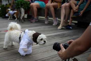 A dog dressed as Princess Leah from Star Wars looks into a camera before participating in a fancy dressed dog competition during the 'Running of the Chihuahuas' event as part of Cinco de Mayo celebrations in Washington