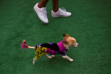 A Chihuahua dog pained in a colourful pattern participates in a fancy dog competition during the 'Running of the Chihuahuas' dog race as part of Cinco de Mayo celebrations in Washington