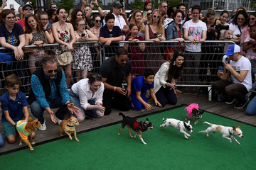 People encourage their dogs to run at the start of a 'Running of the Chihuahuas' dog race as part of Cinco de Mayo celebrations in Washington