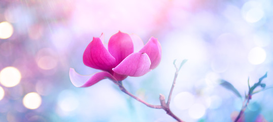 Affisch - Pink Magnolia. Beautiful nature scene with blooming tree and sun flare. Spring magnolia blossom background.