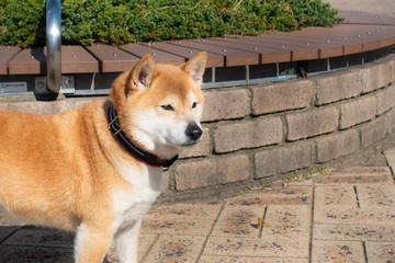 可愛い柴犬の写真