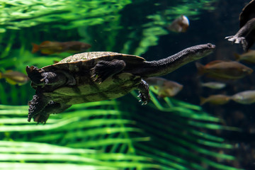 The snake necked turtle.