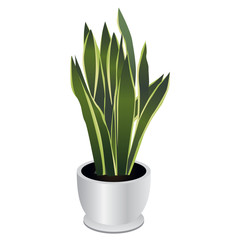 Snake Plant or Mother In Law's Tongue Houseplant Isolated on White Background