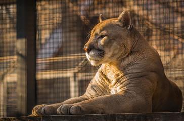 Close up photo of  huge cat-puma