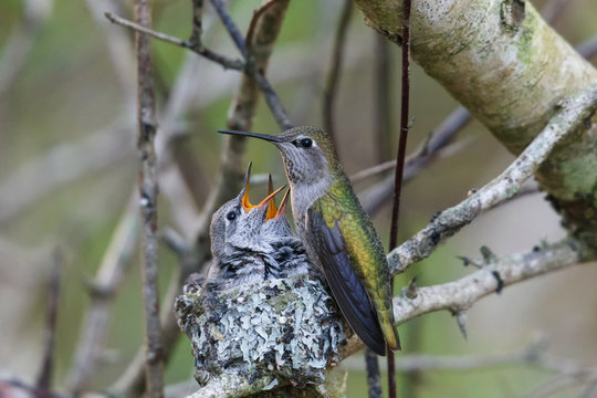 annas hummingbird feeding chick