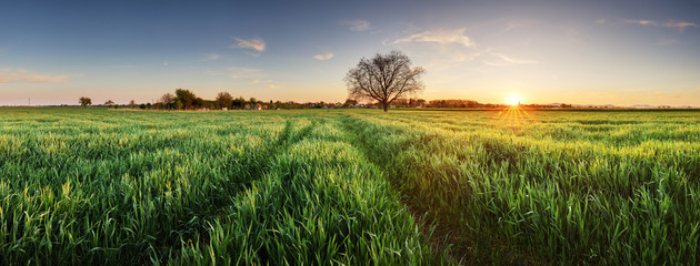 Wheat field at sunset, panorama