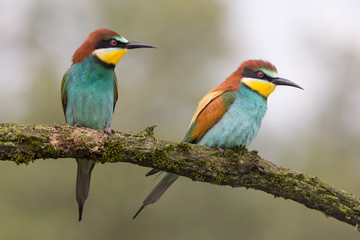 Portrait of engaged couple, the wonderful bee eaters (Merops apiaster)