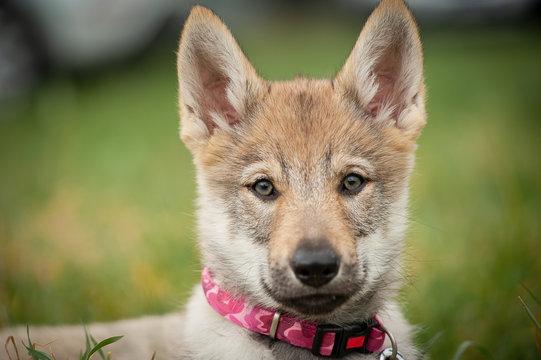 puppy of a Czechoslovakian wolfdog