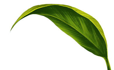 Single leaf closeup on white background  isolate easy to use for your business. Digital painting  and illustration .