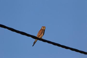 Faucon crécerelle (mâle)