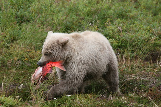 White young wild grizzly eating salmon at Kenai