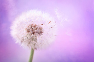 Foto op Canvas Paardenbloem Beautiful dandelion flower with flying feathers on pink color background. Spring or summer nature scene.