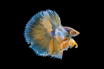 Foto op Plexiglas Vissen The moving moment beautiful of yellow half moon siamese betta fish or dumbo betta splendens fighting fish in thailand on isolated black background. Thailand called Pla-kad or big ear fish.