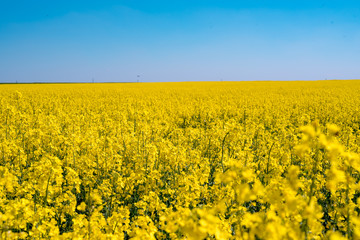 Blooming yellow rape field in the sunshine and bright blue sky