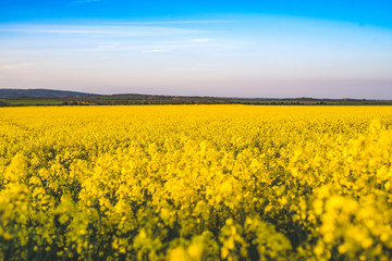 Blooming yellow rape field in the sunshine and bright blue sky in Lower Austria