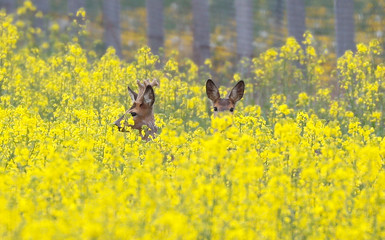 Roe deers are seen in a field of rape near the village of Pogost