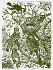 Five different types of birds sitting on a tree around a nest with eggs. Illustration after a historic engraving from the 19th century.. Editable in layers