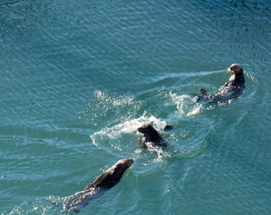Three sea otters in three different positions send ripples in every direction as they manage to swim in a straight line