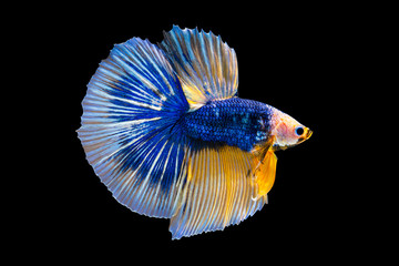 Foto op Plexiglas Vissen The moving moment beautiful of yellow and blue siamese betta fish or fancy betta splendens fighting fish in thailand on isolated black background. Thailand called Pla-kad or biting fish.