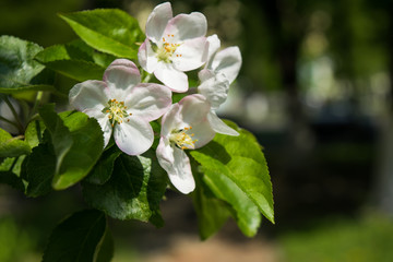 Spring white blossoms. Flowering apple tree branch in the garden. Selective focus
