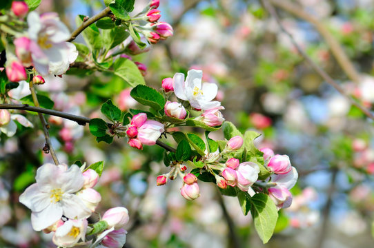 Flowers of an apple tree. Focus on the front flowers.