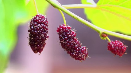 Fototapete - Fresh mulberries hang on a tree swaying in the wind