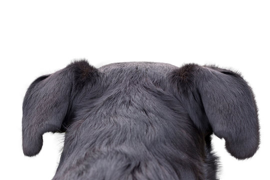 appenzeller mountain dog looking and staring somewhere, from behind back rear torso, isolated on white background