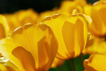 Beautiful yellow tulip.