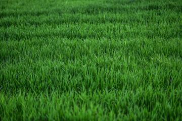 Obraz zielona trawa - fototapety do salonu