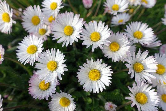 Gänseblümchen (Bellis perennis), Maßliebchen, Tausendschön