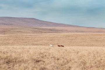 Wild Kucyki w Brecon Beacons National Park w Walii w Wielkiej Brytanii - 266227831