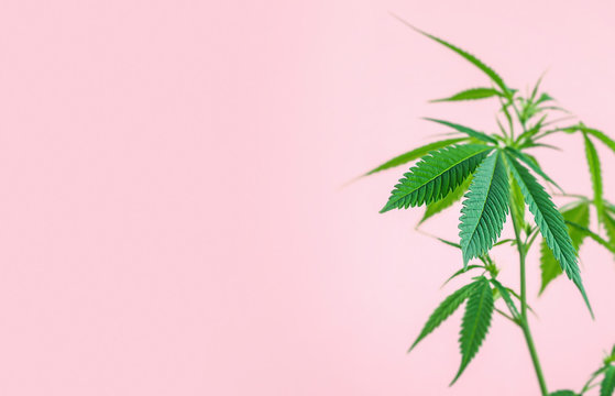 Indoor Cannabis plant, branch of marijuana on a pink background with copy space