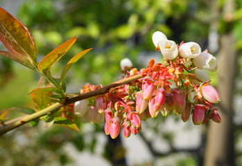 Beautiful and delicate bell-shaped blueberry flowers and leaves on the branch in the morning sun close up.