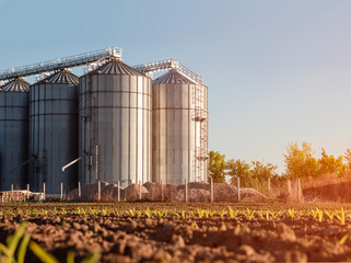 Closeup agricultural silos and young corn starts to grow in foreground