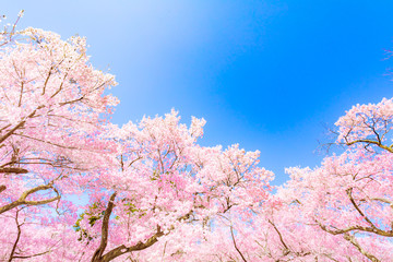 Deurstickers Kersenbloesem ピンクの桜の花(高遠桜)
