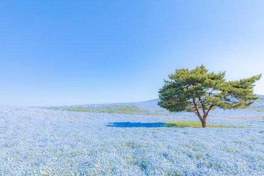 ネモフィラの花畑 日本・ひたち海浜公園・観光・旅行