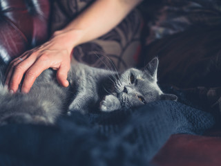 Woman's hand petting british shorthair cat