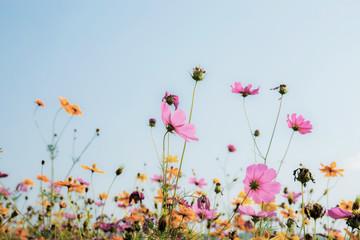 Pink cosmos at sky background.