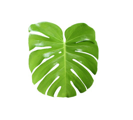 tropical jungle monstera leaves , Swiss Cheese leaf tree isolated on white background