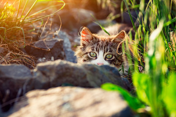 Stray kitten at sunset hidden behind a stone.