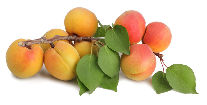 A branch with apricots isolated on white