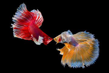 Foto op Plexiglas Vissen The moving beautiful of yellow and red half moon siamese betta fish or dumbo betta splendens fighting fish in thailand on black background for love Valentine's day Thailand called Pla-kad or big ear.