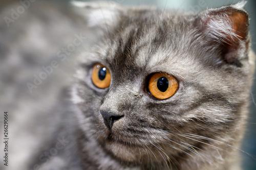 Close up lovely scottish fold cat  Playful, cute, and beautiful cat